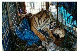 Harimau Sumatera Berhasil Dievakuasi